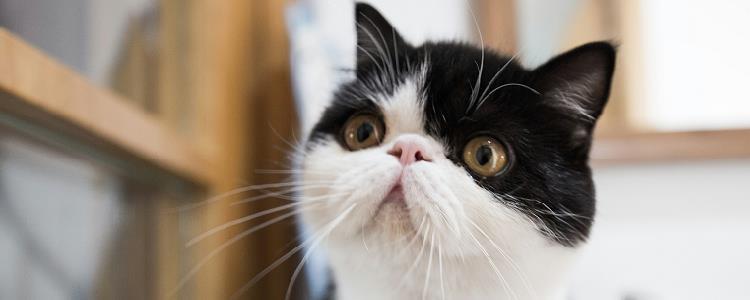 猫肛门有黑色硬物 主人要小心肛门腺发炎哦!