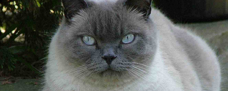 猫有肥胖症吗 这些行为都会致使猫患肥胖症!