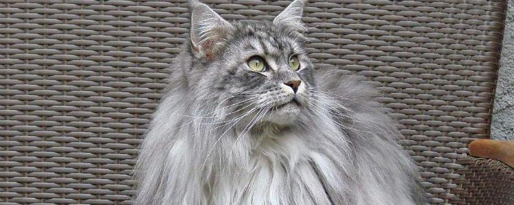 猫甲状腺亢进什么反应 尤其警惕老年猫突然精神抖擞