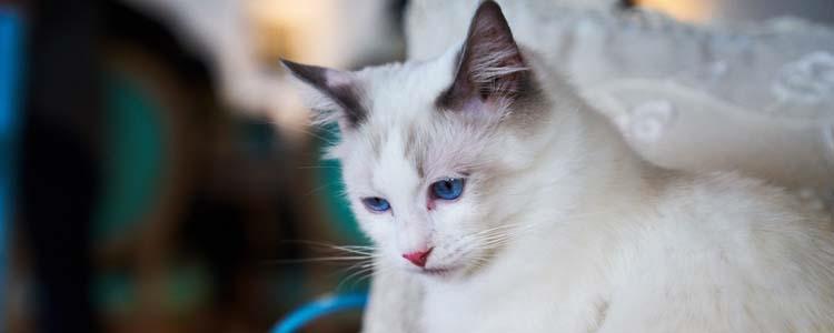 怎么确定猫咪是否隐睾 隐睾和去势如何区分?