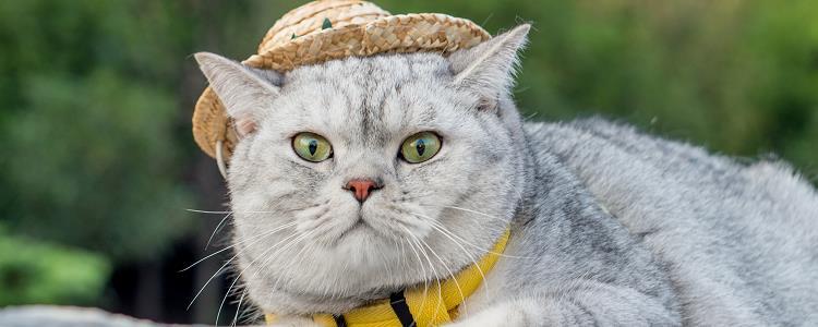 银渐层幼猫品相鉴定 毛色是非常有讲究的哦!