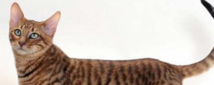 猫咪乳腺瘤怎么办 判断肿瘤的性质非常关键!