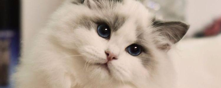 海双布偶猫什么意思 是一种最受欢迎的毛色哦!