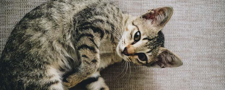 猫咪呼吸急促是什么原因 多是高危型疾病引起的