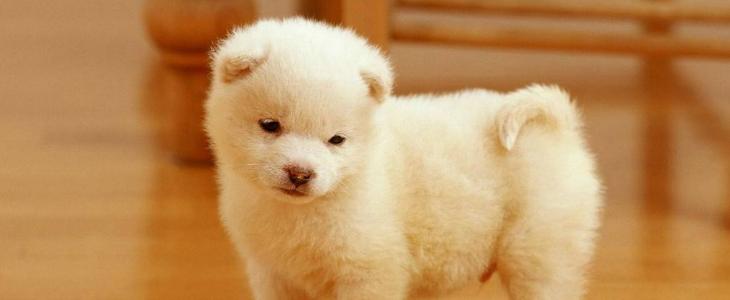 狗狗为什么头一直摇摆? 可能是摇摆综合征在作祟!