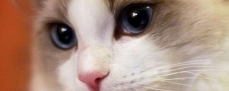 布偶猫花色科普 小编图解让你知道布偶猫的所有毛色!