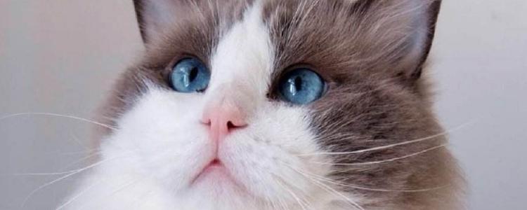 布偶猫和暹罗猫的区别 这俩货长得很像吗?