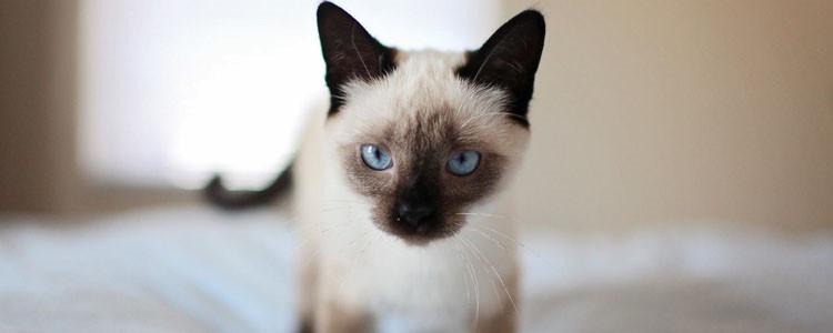 暹罗猫生育需要多长时间 初次生产的猫是不同的哦!