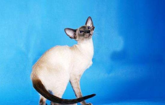 暹罗猫生育需要多长时间 初次生产的猫是不同的哦!暹罗猫生育需要多长时间