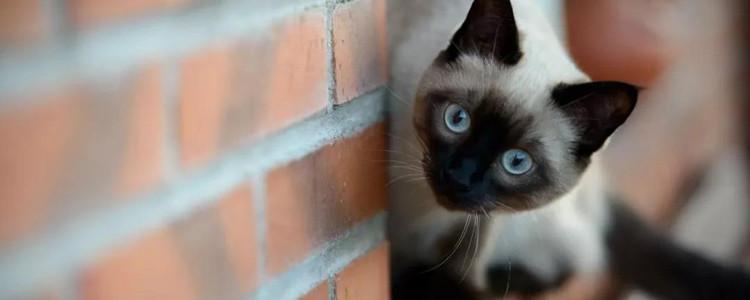 暹罗猫仔黑色会变白吗 变黑其实和它有关...