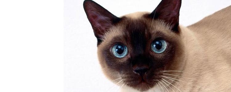 暹罗猫五个月多大 猫猫都是一个月长一斤哦!