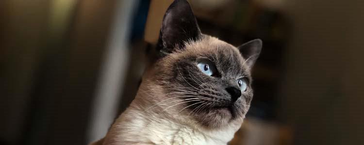 暹罗猫喜欢你怎么表现 这三种表现你有中枪吗