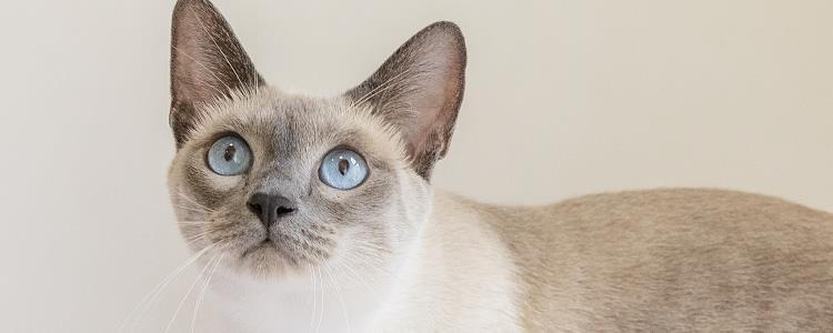 暹罗猫公母怎么看 一张图告诉你!