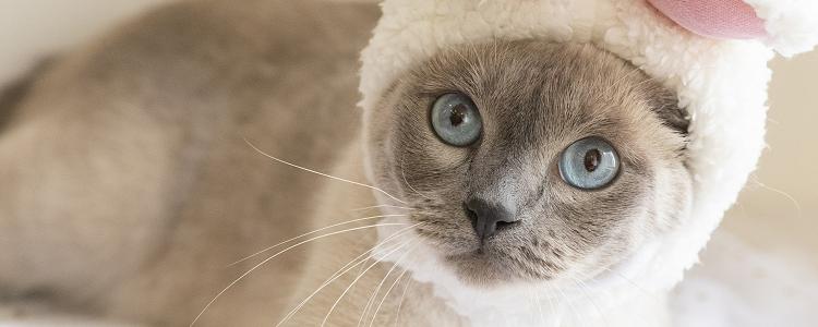虎斑暹罗猫是杂交吗 你需要多了解一下暹罗猫的品种哦!