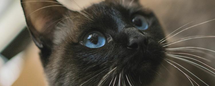 暹罗猫什么时间就不掉毛 人都每天会脱发,你说猫呢?