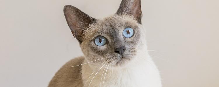 暹罗猫能听懂人说话吗 你们家猫又是什么反应?