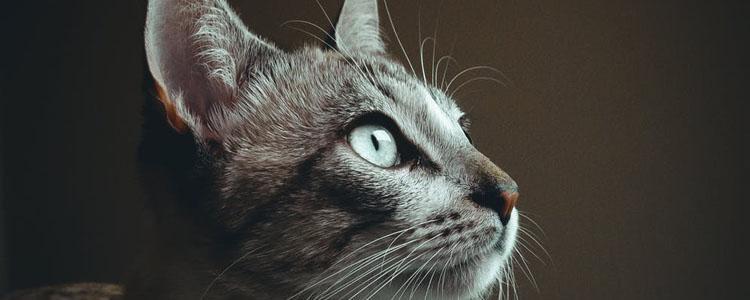 猫冬天嗷嗷叫怎么回事 冬天也会发情?