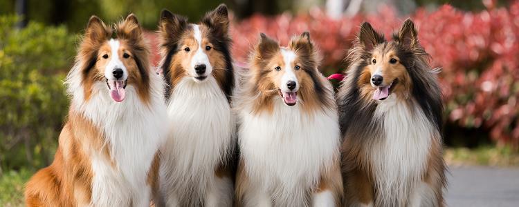 狗可以喝羊奶粉吗 狗狗喝羊奶粉需要注意什么?