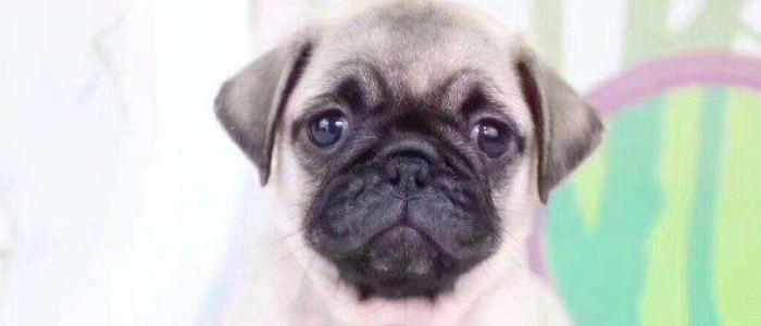狗狗假孕是什么造成的 狗狗假怀孕该怎么治疗?