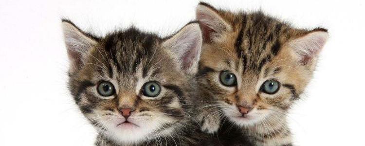 小猫多大可以吃猫粮 3-4个月是吃猫粮的最佳阶段!