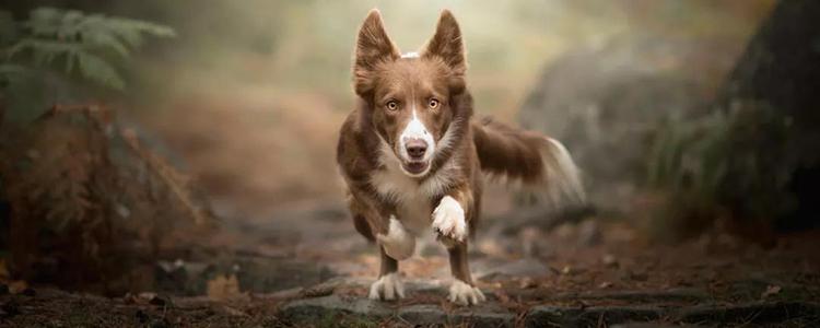 狗狗外伤出血怎么处理 急救止血方法