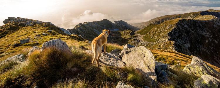 世界十大禁养猛犬排名 极其难以被驯服的犬种