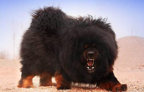 世界十大禁养猛犬排名 极其难以被驯服的犬种世界十大禁养猛犬排行 极其难以被驯服的犬种世界十大禁养猛犬排行榜 有一种连人都吃!世界十大禁养猛犬排行榜 有一种连人都吃!