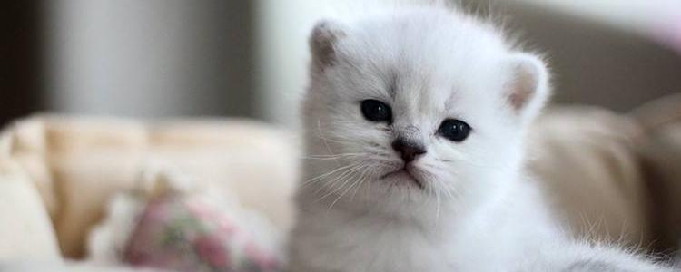 一个月小猫大概要喝多少奶 小奶猫这样才能养活