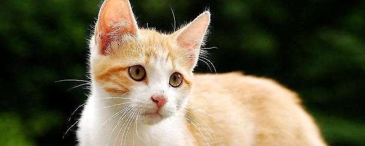 猫咪毛球症化毛膏要吃几天 看看猫咪毛球情况判断吧!