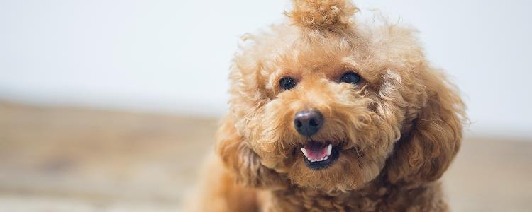 泰迪被打得抽了 体罚狗狗不可取