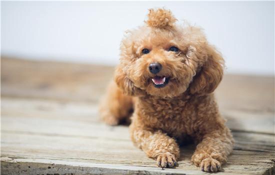 泰迪被打得抽了 体罚狗狗不可取泰迪被打得抽了