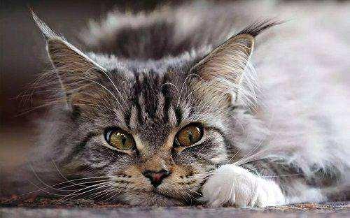 缅因猫多少钱一只  希望你的钱包能Hold住!