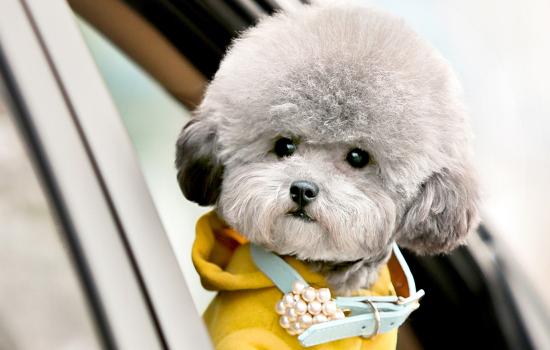 母犬发情的时分有啥症状 狗狗发情的注意事项插图(1)