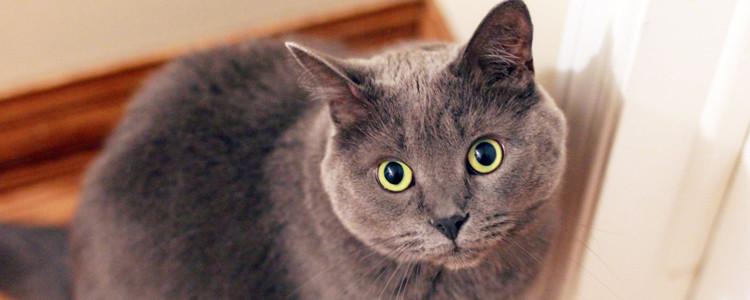 英国短毛猫认定的毛色有多少种 英国短毛猫品种图鉴