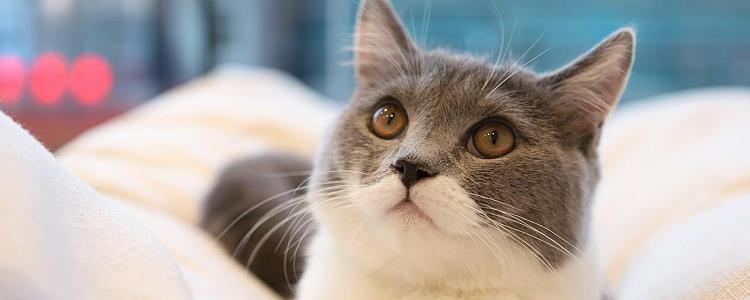 英国短毛猫怕冷吗 猫需要穿衣服吗?