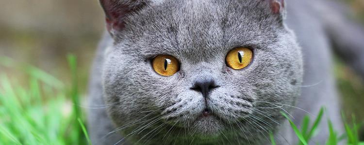 英短寿命有多久 决定猫咪寿命长短的因素是什么?