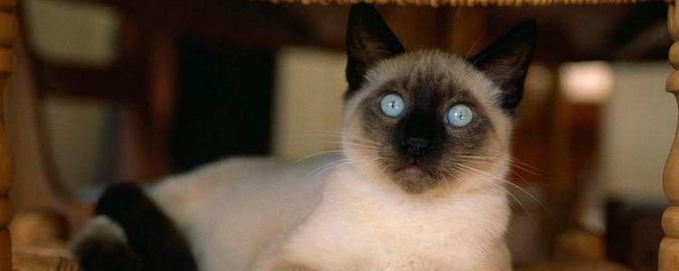 暹罗猫能活几年 寿命和你是否精心饲养有很大的关系!
