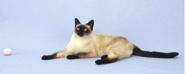 暹罗猫寿命一般多少年 你的饲养和护理因素很关键!