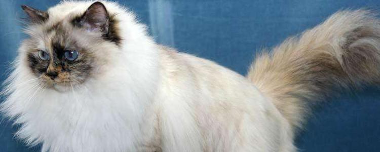 暹罗猫和布偶猫区别 看体型就可以很好的分辨了!