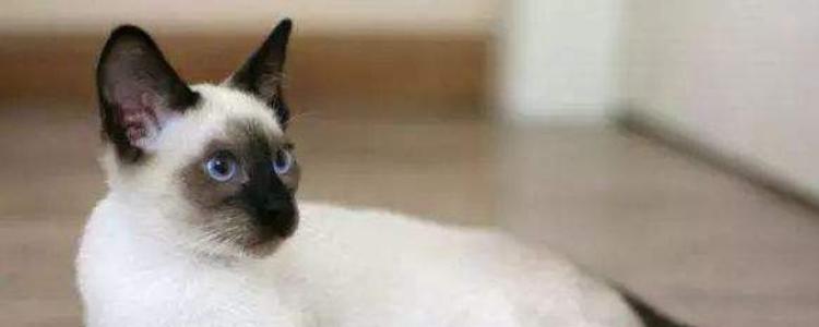 暹罗猫可以喝纯牛奶吗 有专用的猫奶粉喂食