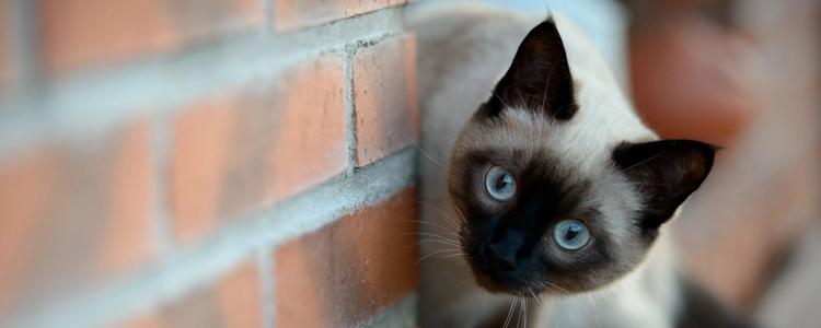 暹罗猫怕冷吗 非常不耐冷!