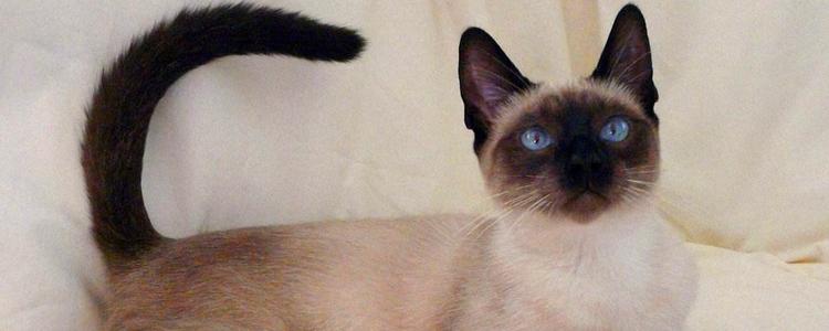 暹罗猫是哪个国家的 泰国的贵族猫!