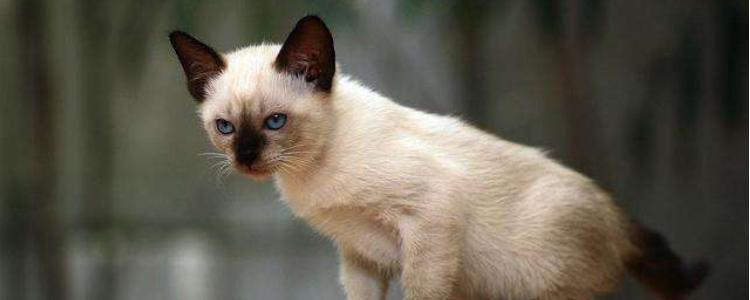 暹罗猫冬天怕冷吗 怕冷甚至还会变色呢!