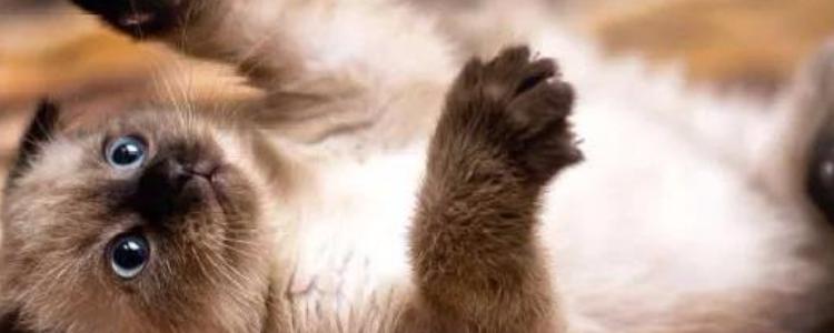 暹罗猫亲人吗 真的是非常容易相处了