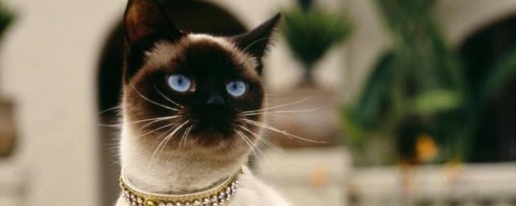 暹罗猫容易得病吗 身体素质还算是好的!