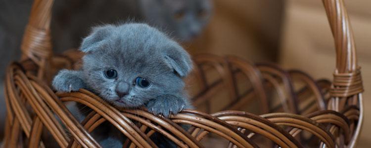 英国短毛猫爱吃什么 当然是鱼肉了!