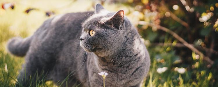 英国短毛猫爱主人的表现 看看你家的占几条