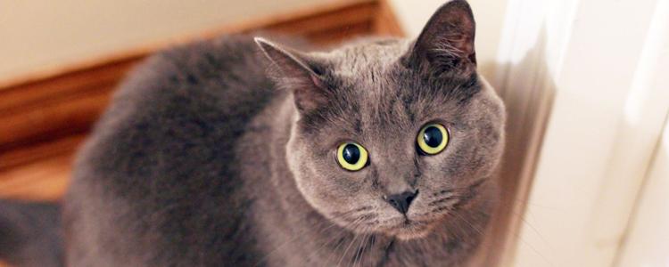 英国短毛猫爱吃哪些零食 这些用作奖励事半功倍