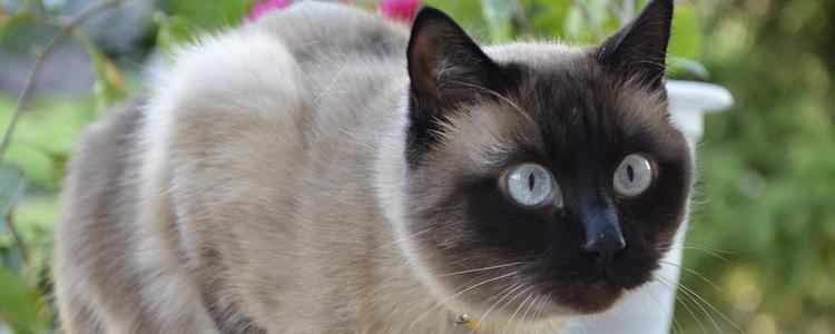 暹罗猫怎么训练 这几种方式对付暹罗猫应该是可以的!