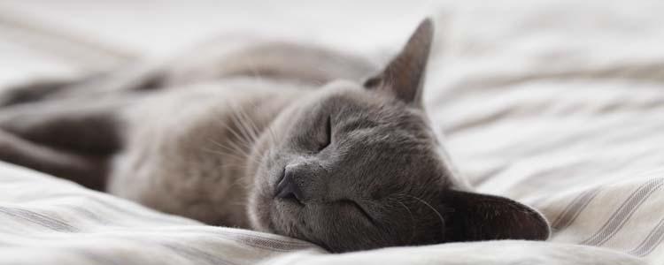 英国短毛猫发腮是指哪个部位 什么情况下不会发腮